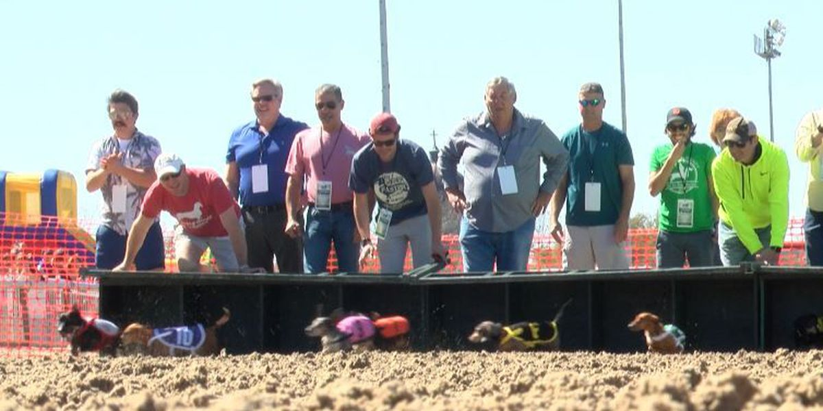 Dozens of wiener dogs take over the New Orleans Fair Grounds race track