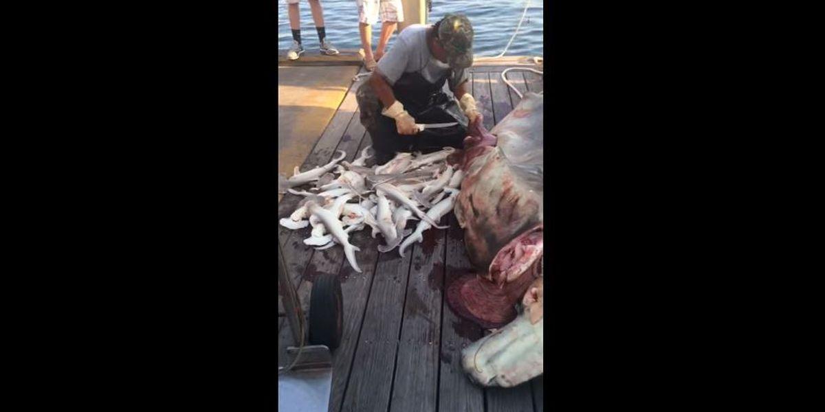34 shark pups pulled from hammerhead corpse on Destin beach