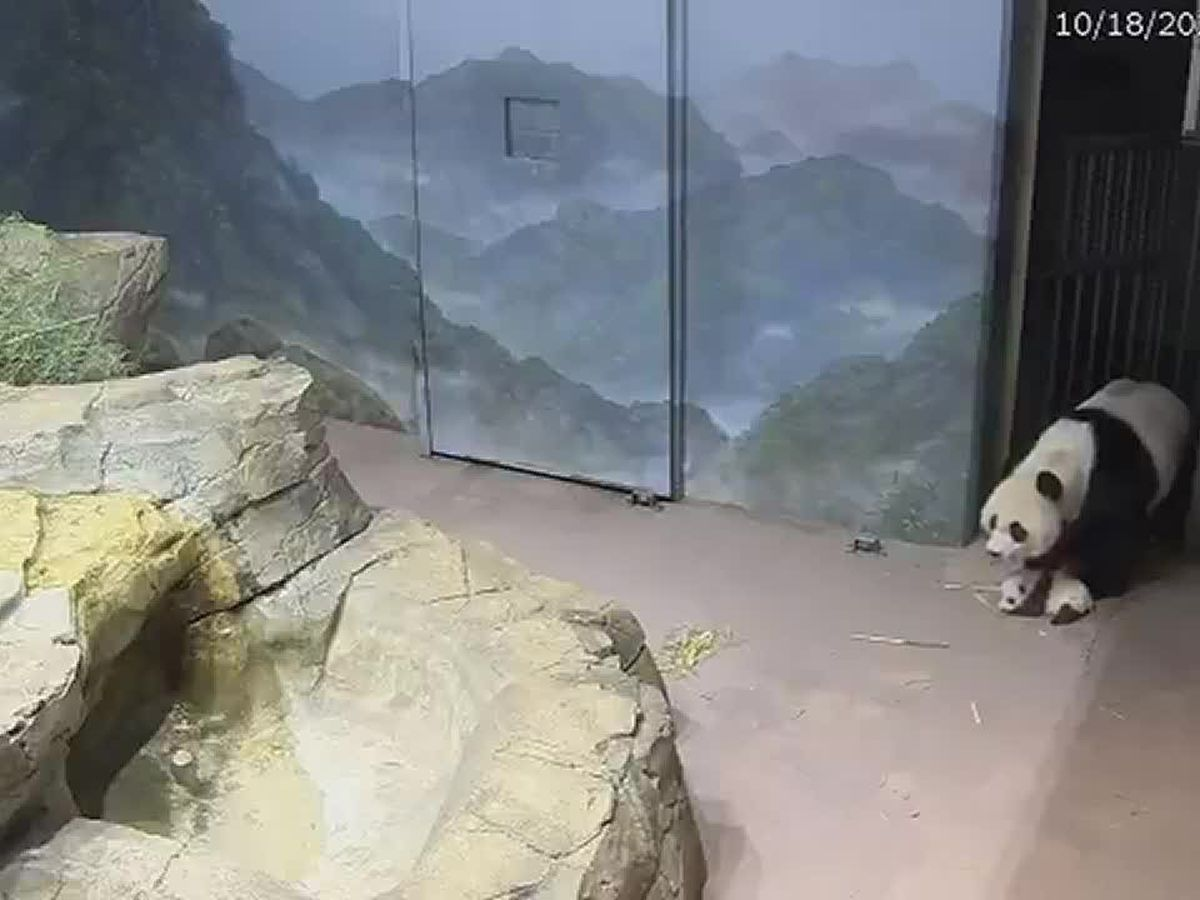 Panda mom shows cub around enclosure at National Zoo