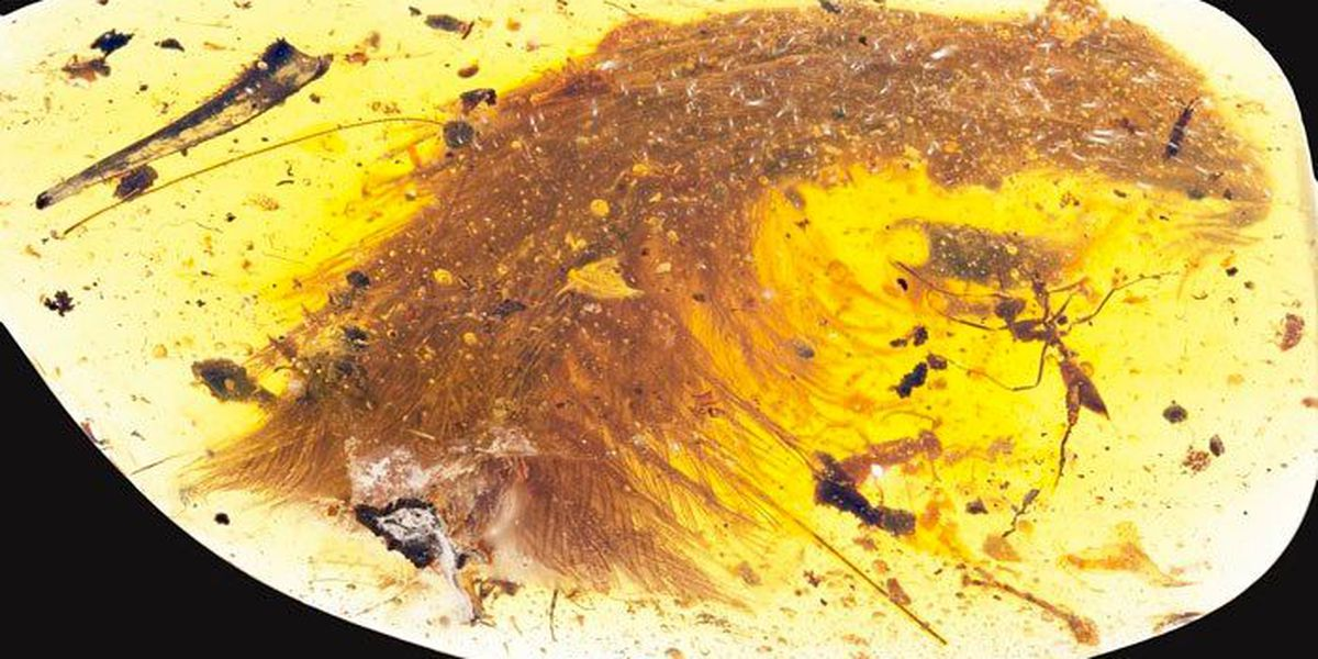 Feathered dinosaur tail survives 99 million years trapped in amber