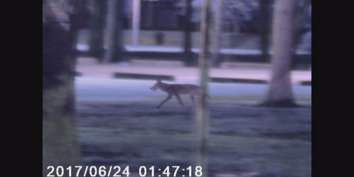 Update expected on coyotes in Jefferson Parish