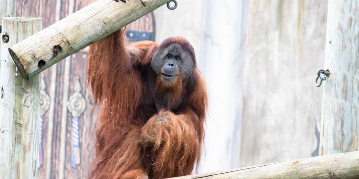 Audubon Zoo welcomes orangutan, pair of sea lions