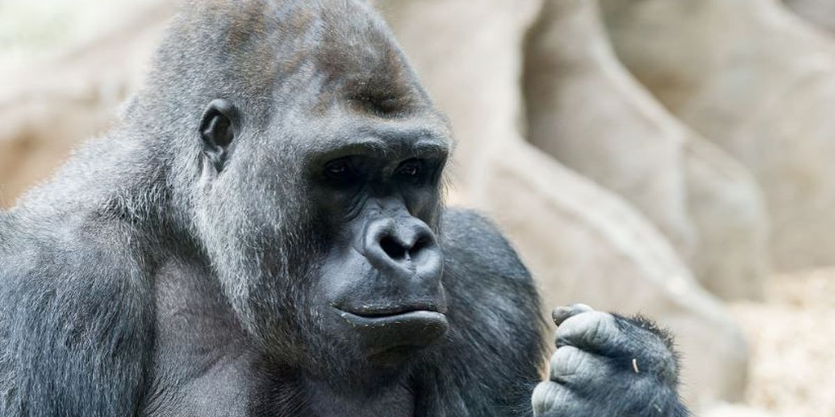 Audubon zoo gorilla tosses block of wood, hits zoo guest in the head
