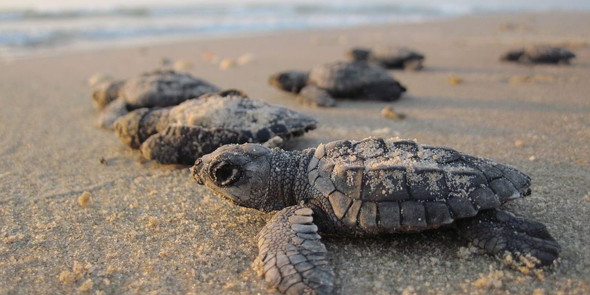 Over 100 baby sea turtles found dead in Cherry Grove after Hurricane Isaias