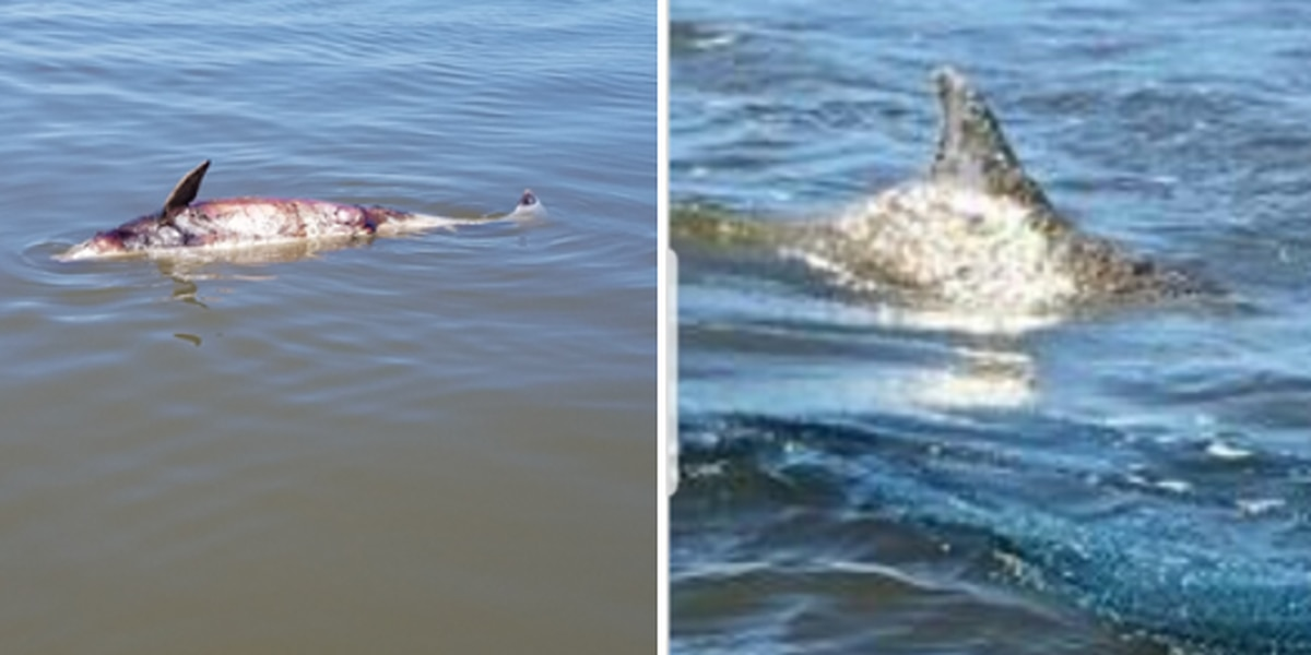 Dolphins turning up dead in St. Bernard Parish waterways