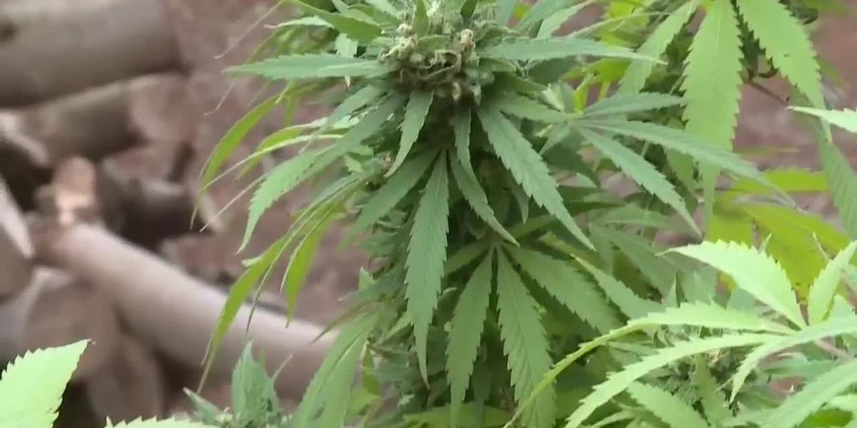 GB Sciences approved to grow medical marijuana at LSU facility