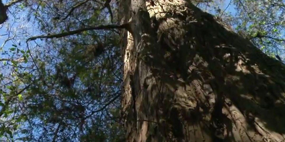 Heart of Louisiana: Legacy Cypress