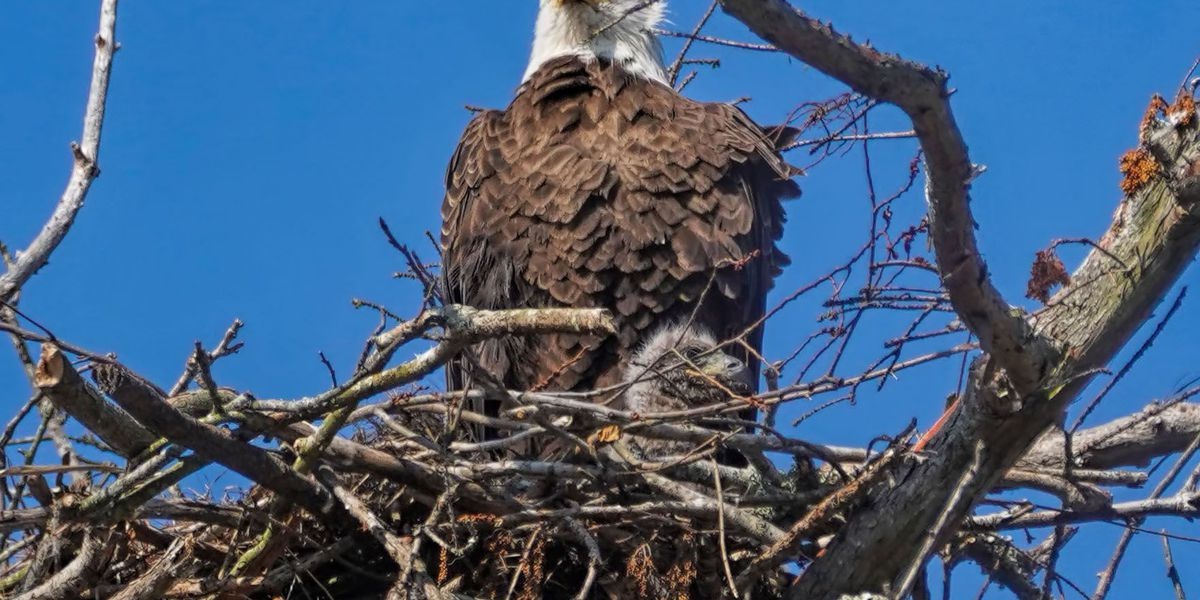 Bald eagles attempting to raise chicks in Louisiana succeed close to 100 percent of the time