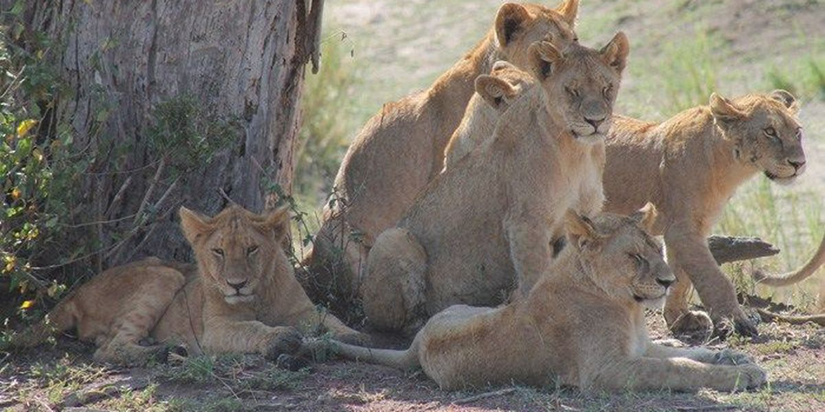 Poachers, hunting rhino, instead get hunted by lions