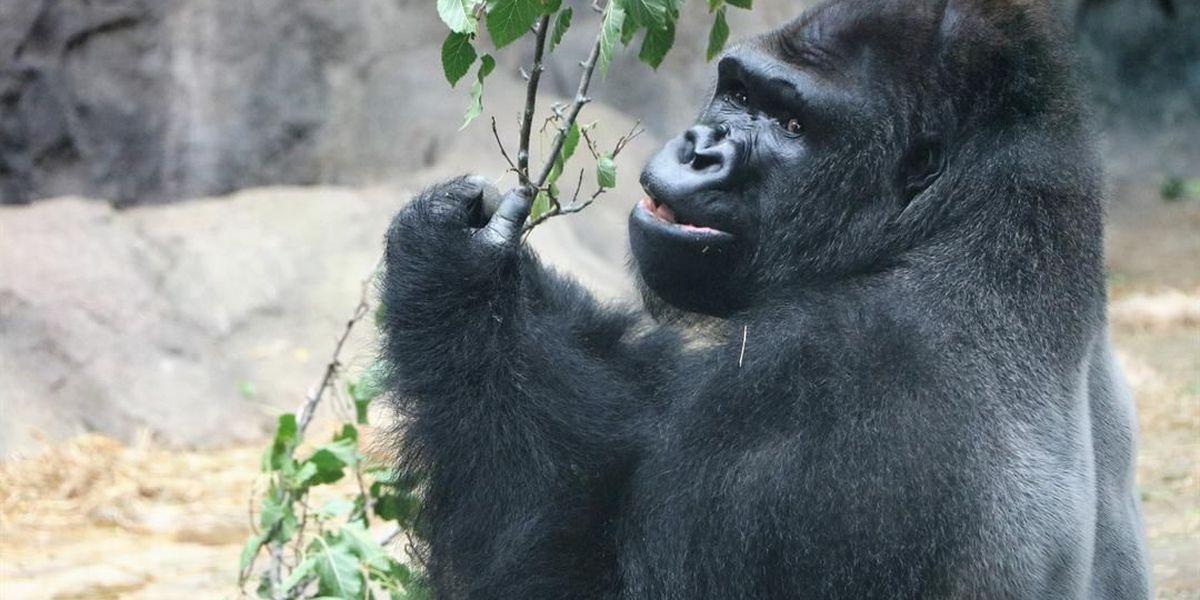 Audubon Zoo expecting new addition to gorilla exhibit