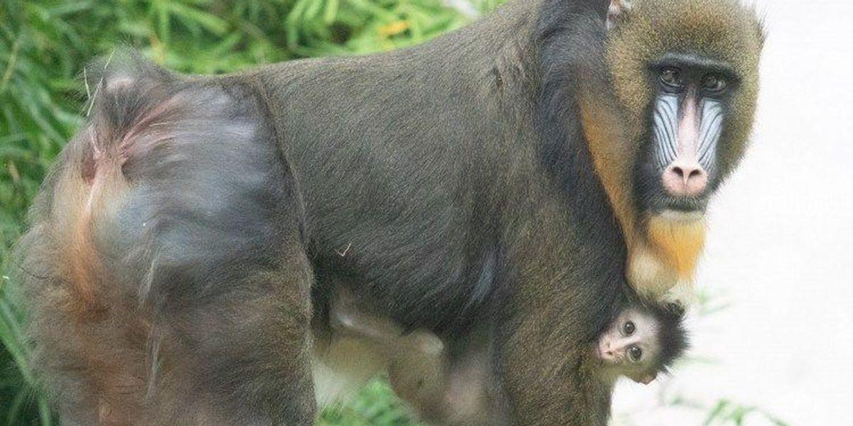 Audubon Zoo debuts baby mandrill