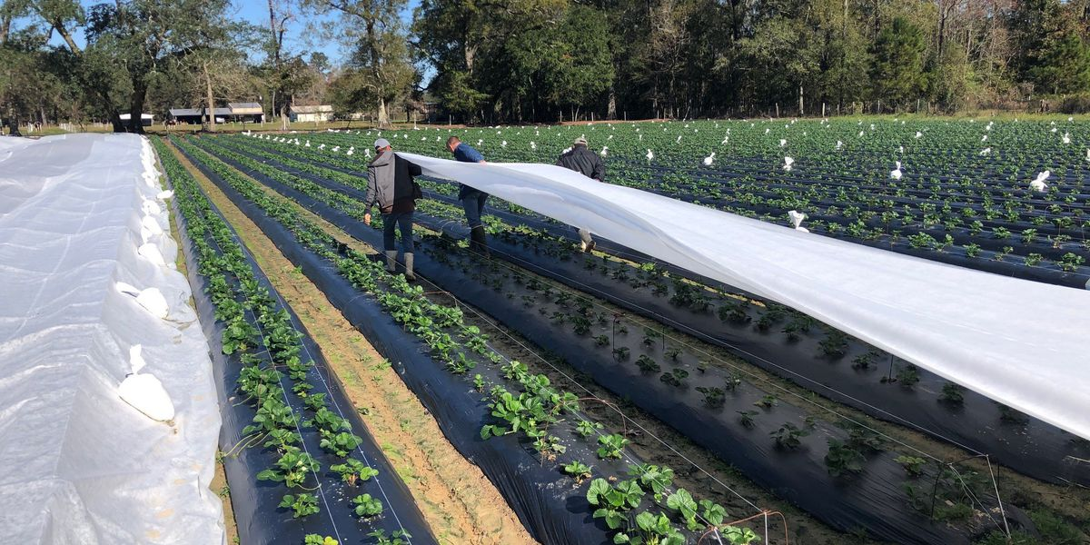 Berry farmers across the area cover crops to protect from cold