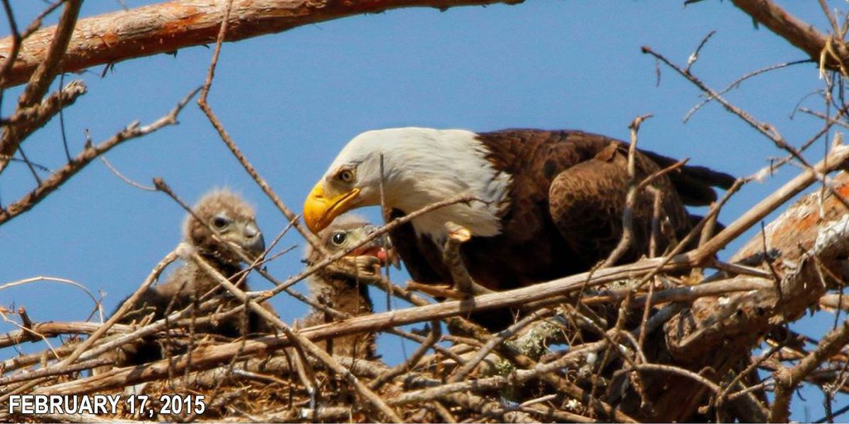 Update: Bald eagle numbers rise as hundreds nest in Louisiana