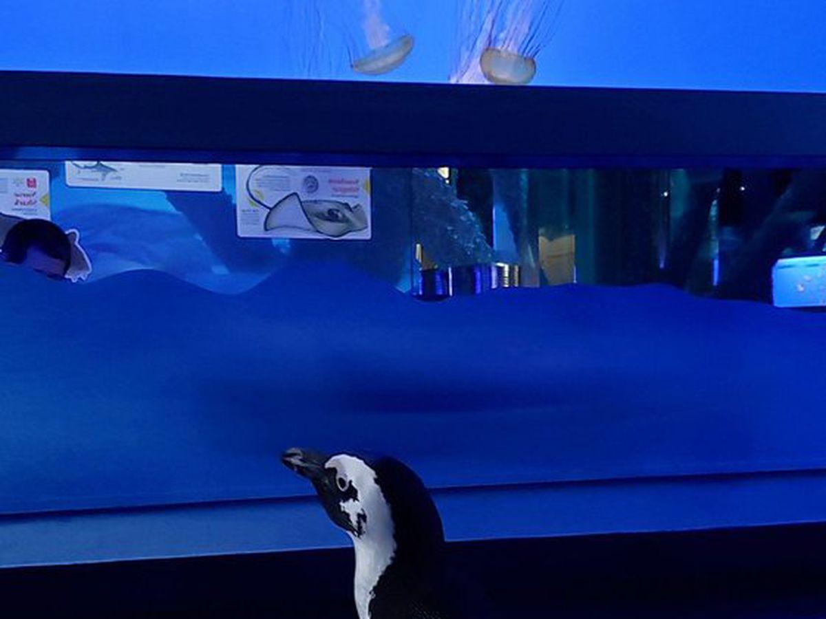 VIDEO: Penguins take field trip through empty Aquarium of the Americas.