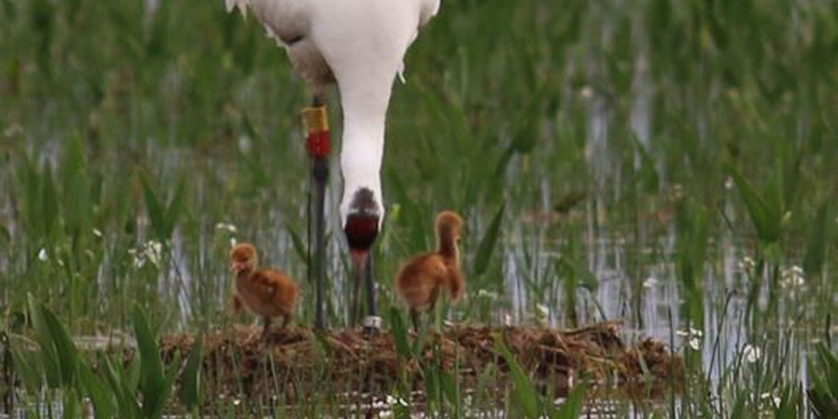 Second Whooping Crane chick just hatched in Louisiana