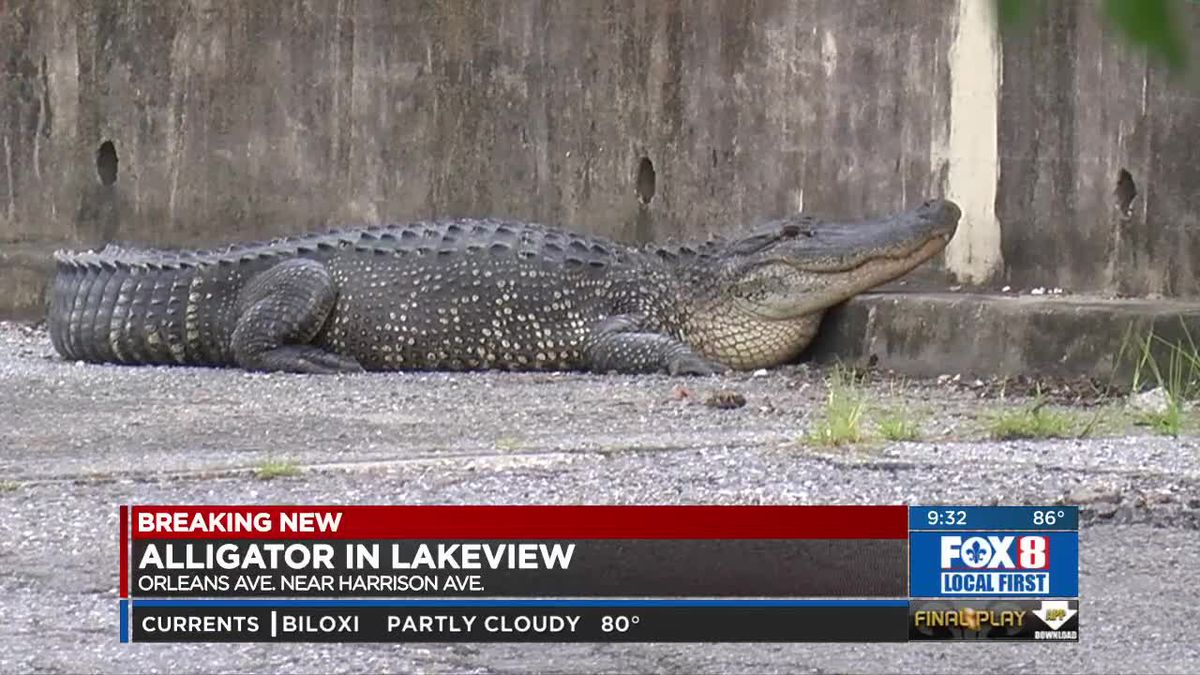 Big Gator spotted, captured in Lakeview near school