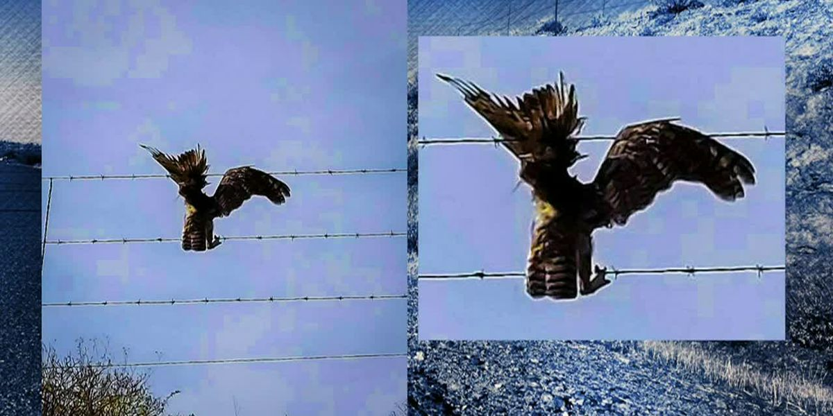 Driver stops to rescue owl trapped in barbed wire fence