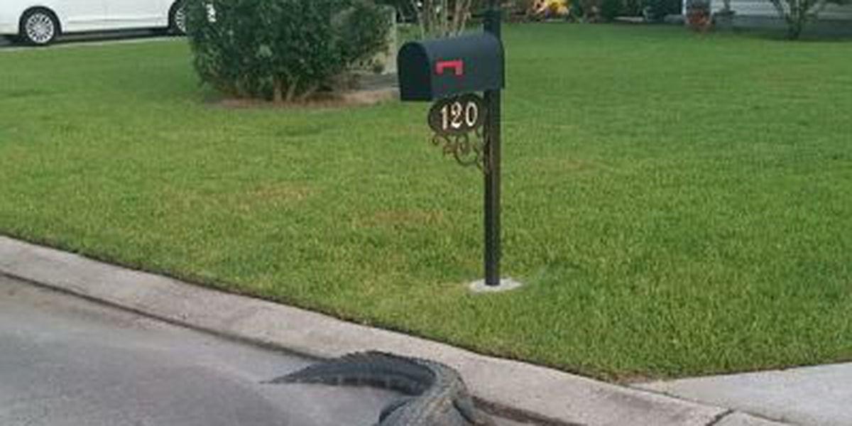 Deputies catch alligator in Belle Chasse subdivision