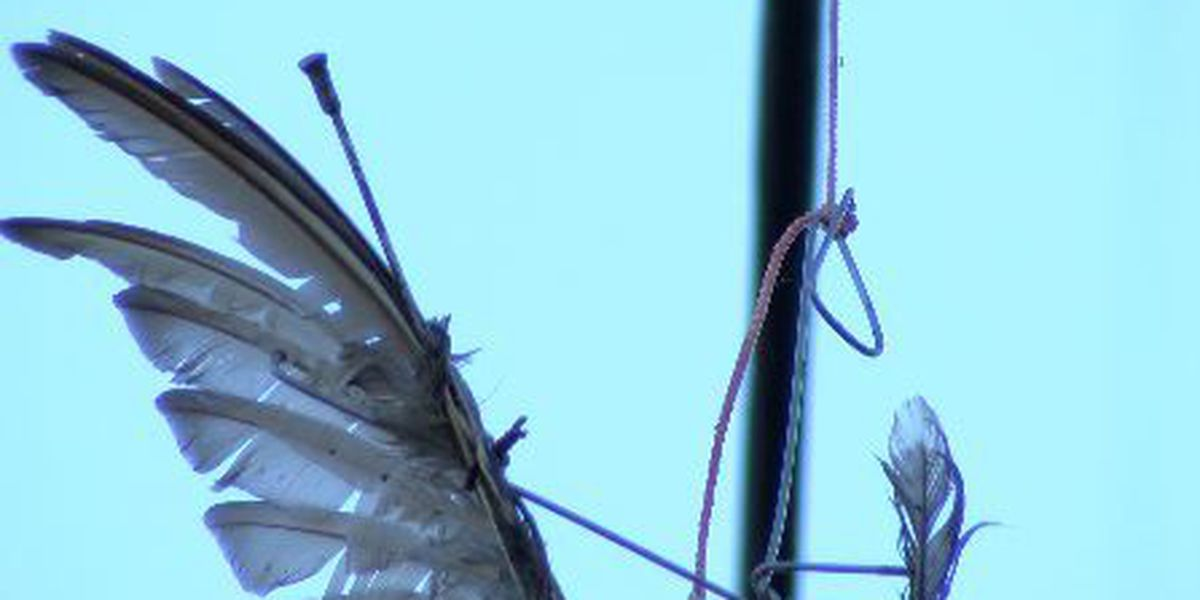 GRAPHIC: Mutilated animals hanging from power lines ignite investigation