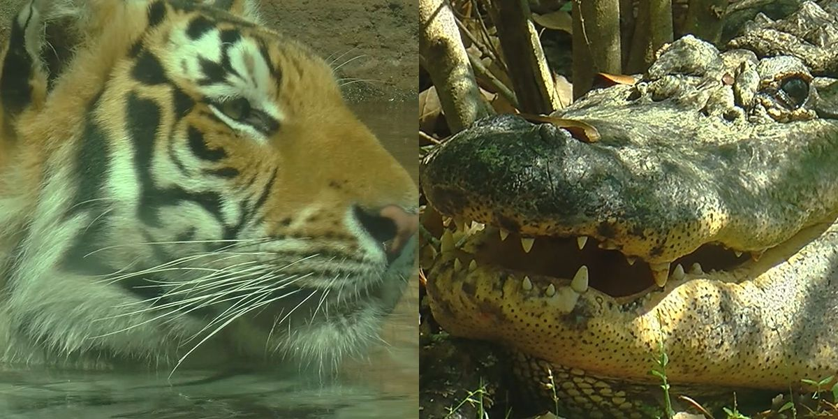 Tiger vs Gator: Which would win in a REAL fight?