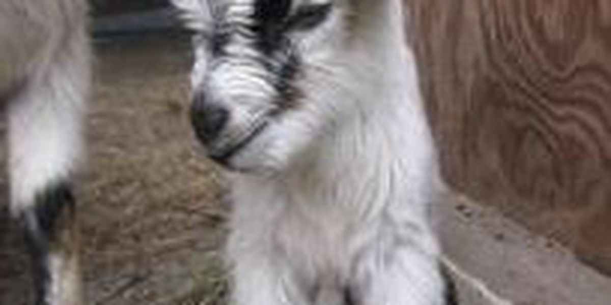 Baby goat beheaded in Algiers park; SPCA offers reward