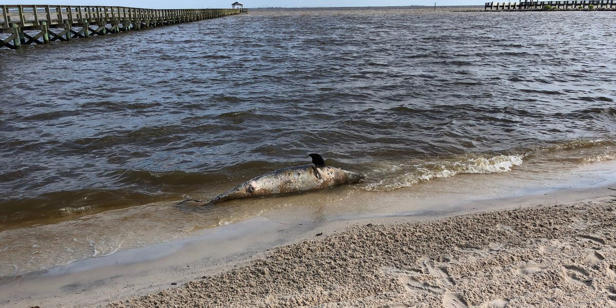Four more dead dolphins wash ashore between Long Beach and Ocean Springs