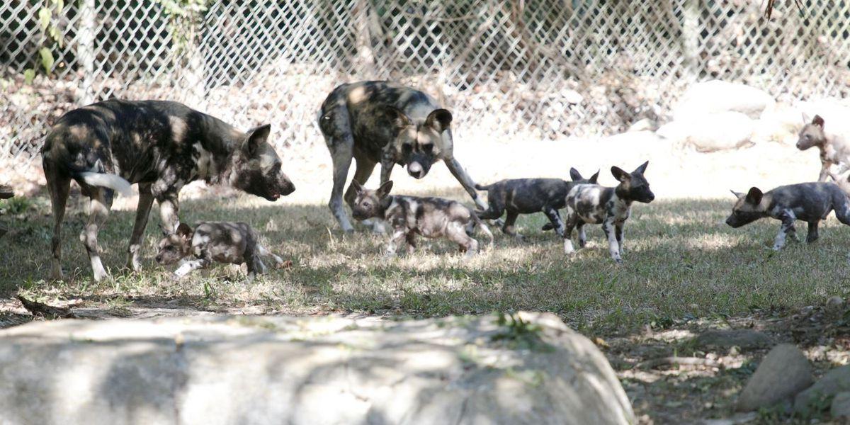Audubon Zoo 'Pupdate': Newborn endangered African painted dog pups see the world outside their den