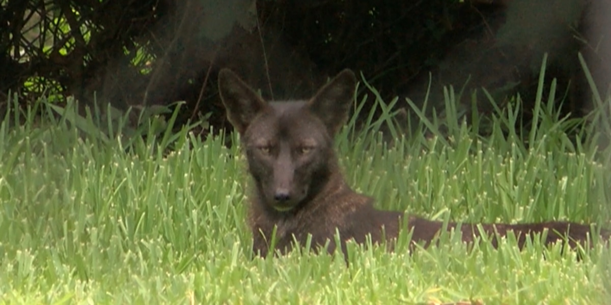 More coyotes sighting reported in the Irish Channel