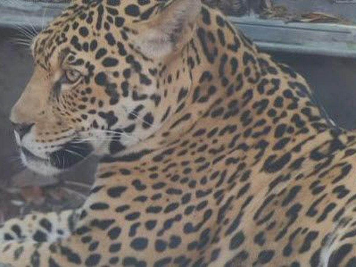 Audubon Zoo confirms jaguar damaged enclosure roof to escape