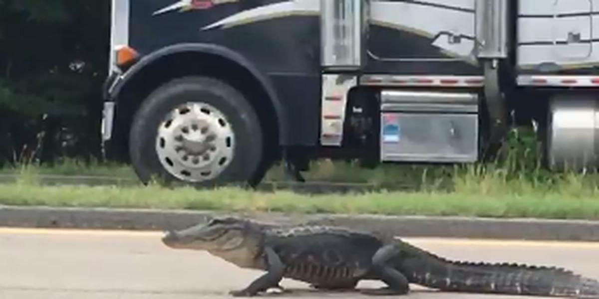 Later Gator: 'Suspicious' road reptile taken into custody caught on video