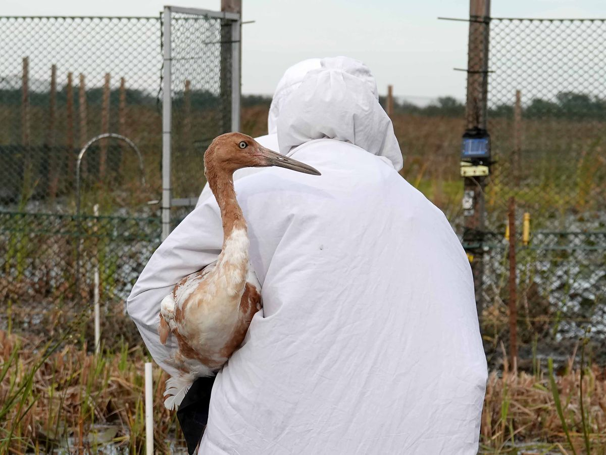 Dressed in costumes, biologists release endangered cranes in Louisiana marsh
